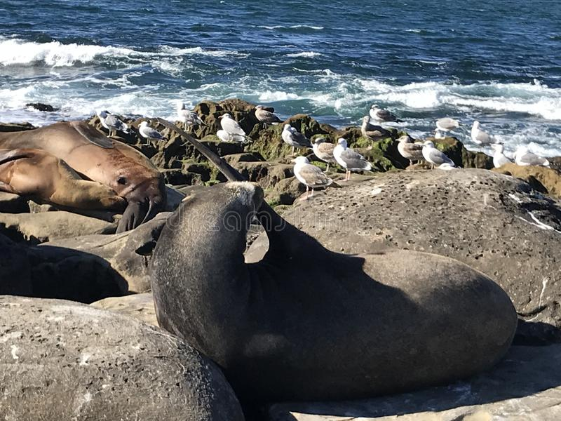 Sea lions sleeping on a rocky shore. Sea lions pinnipeds sleeping on a rocky shore, La Jolla Cove, La Jolla Point near San Diego California. Marine sea life royalty free stock images
