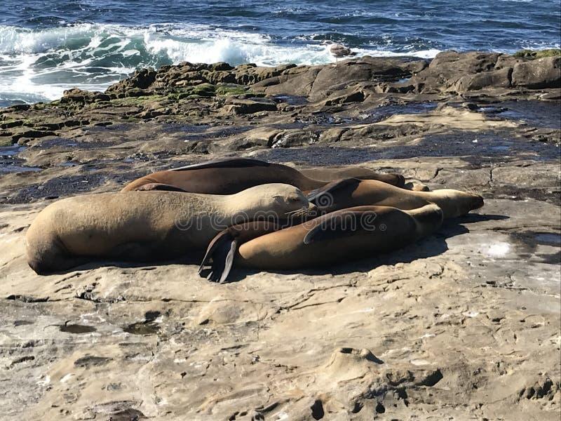 Sea lions sleeping on a rocky shore. Sea lions pinnipeds sleeping on a rocky shore, La Jolla Cove, La Jolla Point near San Diego California. Marine sea life royalty free stock photo