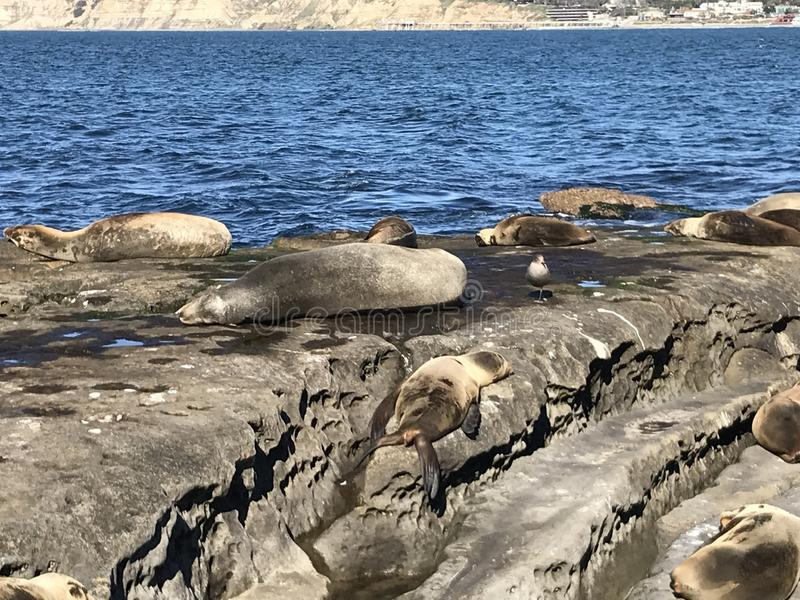 Sea lions sleeping on a rocky shore. Sea lions pinnipeds sleeping on a rocky shore, La Jolla Cove, La Jolla Point near San Diego California. Marine sea life stock photo