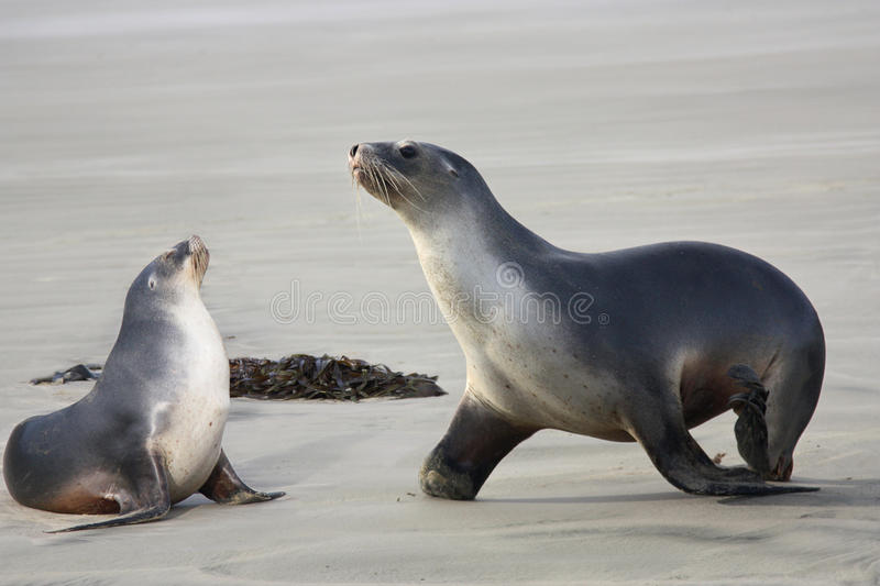 Sea lions two. Two cute sea lions on the beach stock photo