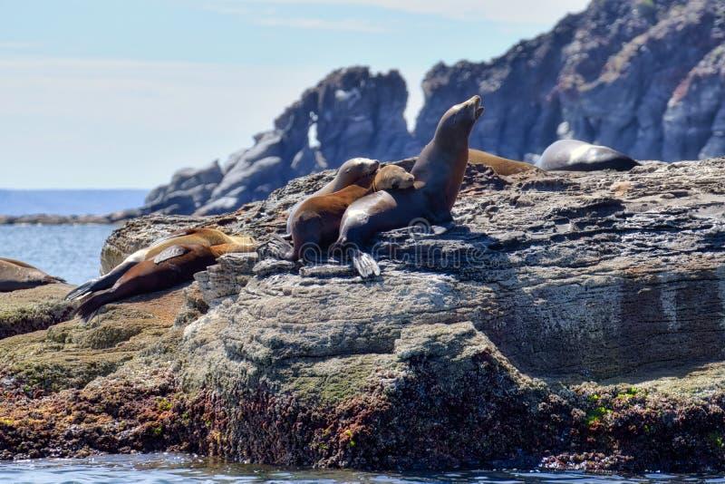 Sea Lions on Vulcanic rock formation on Corona Island, Loreto Mexico. Sea Lions on vulcanic rock formation on Corona island, Loreto, Baja California Mexico stock photos