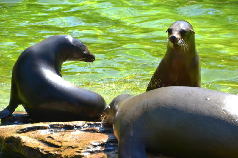 Sea lions. In a zoo stock photo
