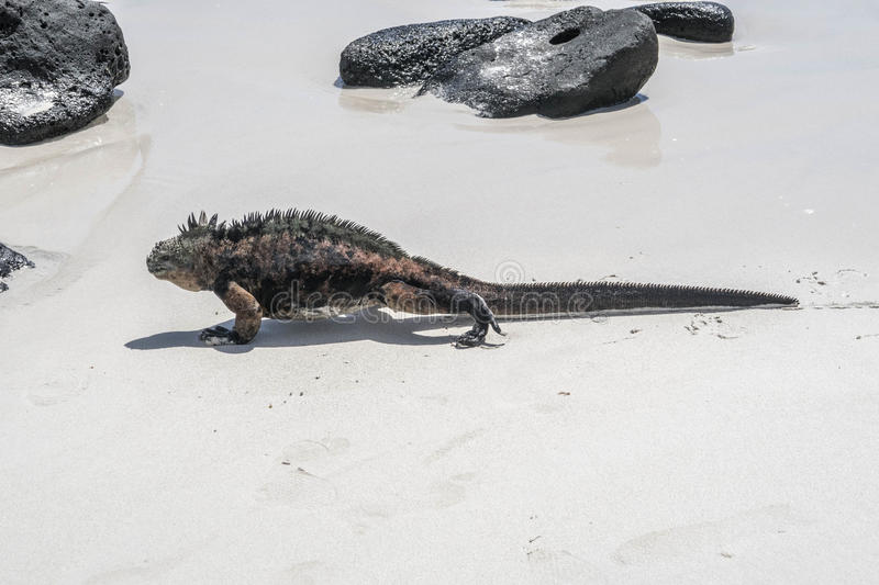 Sea lizard on a rock at the beach stock images