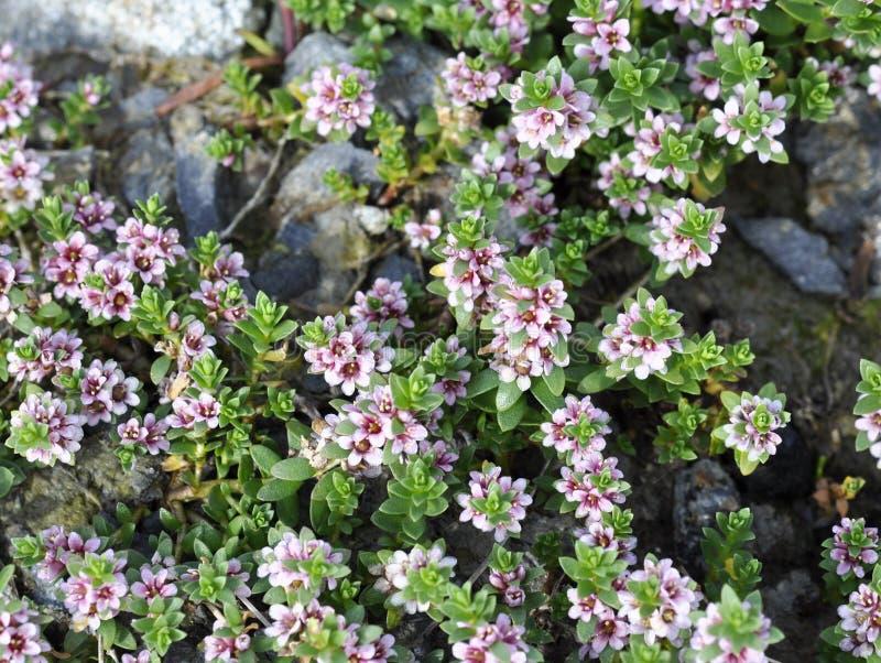 Sea milkweed royalty free stock image
