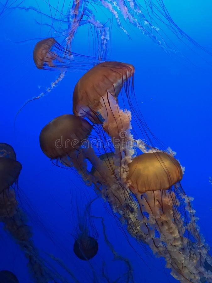 Sea nettle jelly fish bobs about in its enclosure royalty free stock image