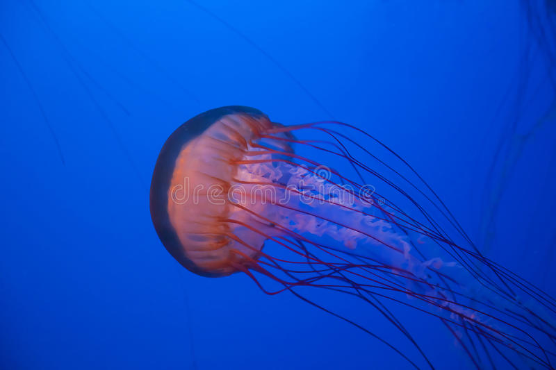 Sea Nettle Jellyfish Royalty Free Stock Photography