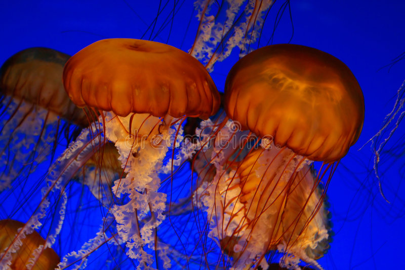Download Sea nettle jellyfish stock photo. Image of fluorescence - 2488496