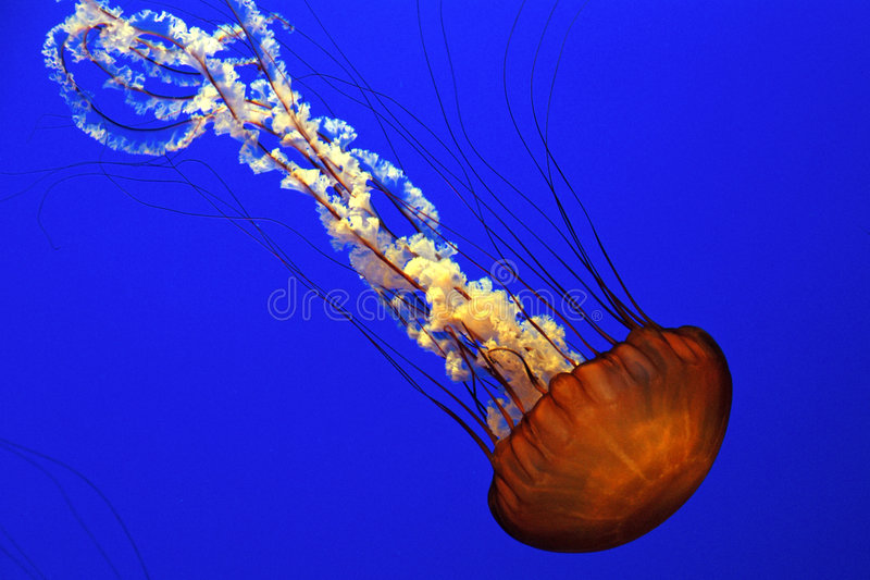Download Sea Nettle Jellyfish Stock Photos - Image: 5802793
