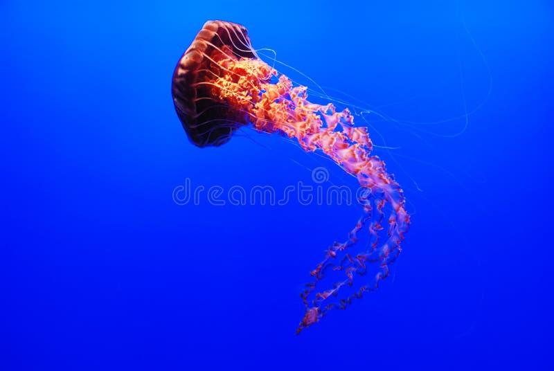Sea Nettle Jellyfish - Chrysaora