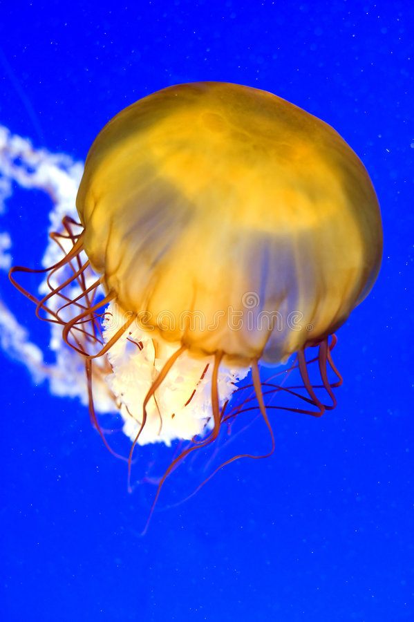 A Sea Nettle Jellyfish (Chrysaora Fuscescen) Royalty Free Stock Photo