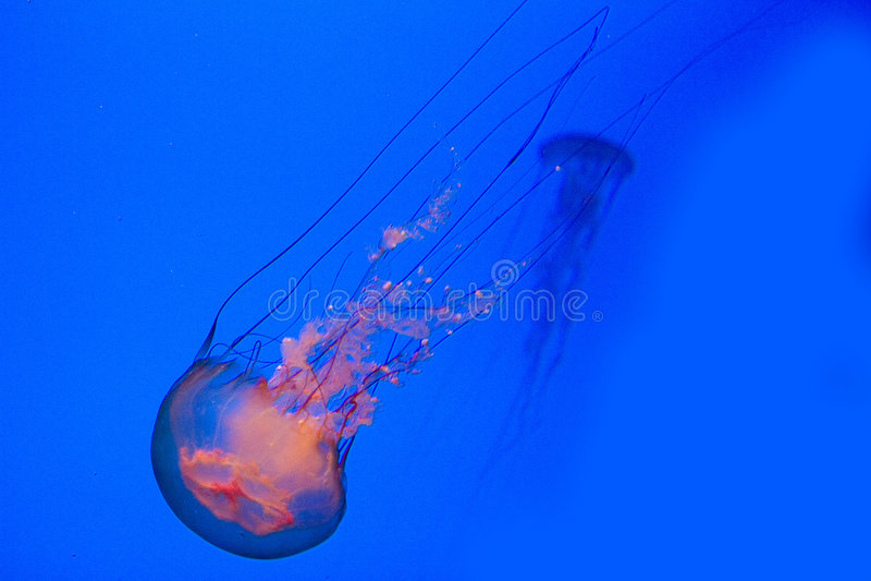 Sea nettles royalty free stock image