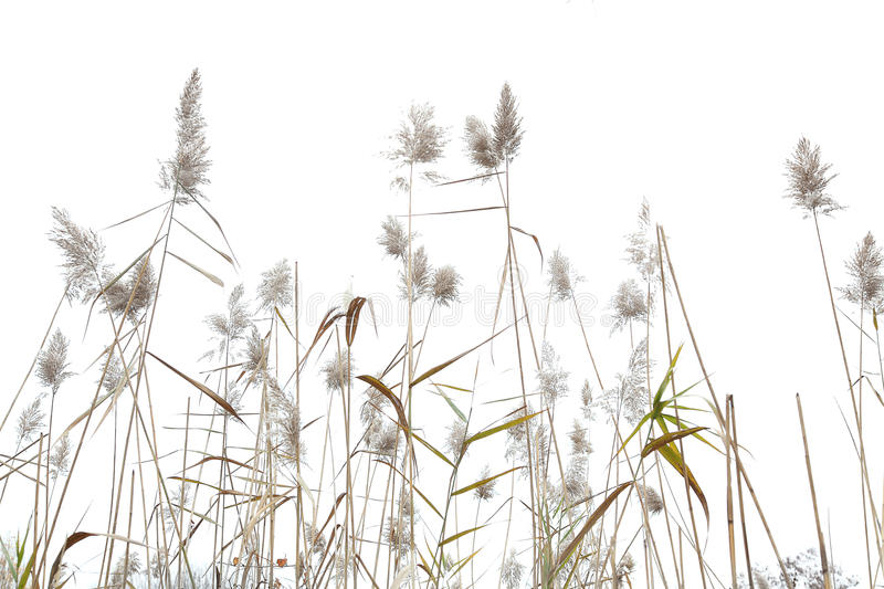 Sea Oats. High key view of tall sea oats and grasses stock photography