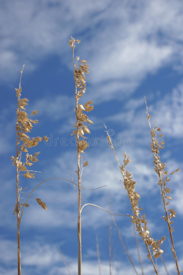 Download Sea Oats. Stock Photo - Image: 50530