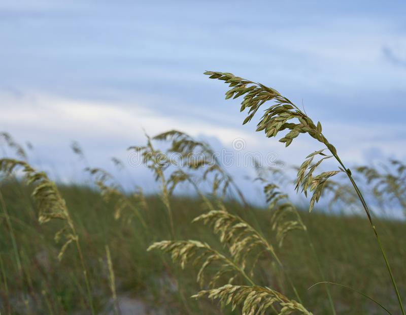 Sea oats along the edge of Wrightsville Beach. Sea oats Uniola paniculata in moments before sunset along Wrightsville Beach in Wilmington, North Carolina royalty free stock photo