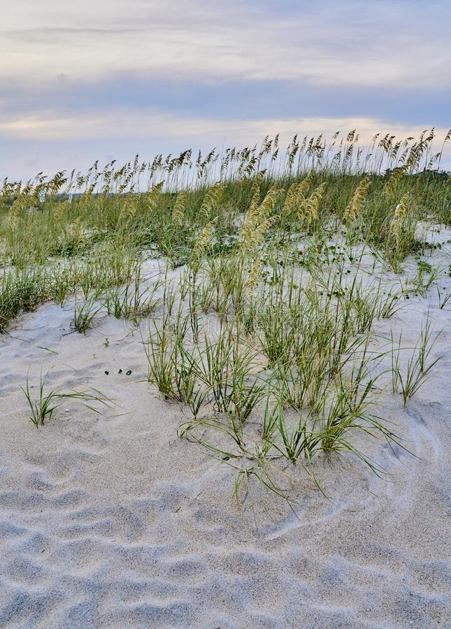 Sea oats along the edge of Wrightsville Beach. Sea oats Uniola paniculata in moments before sunset along Wrightsville Beach in Wilmington, North Carolina stock photos