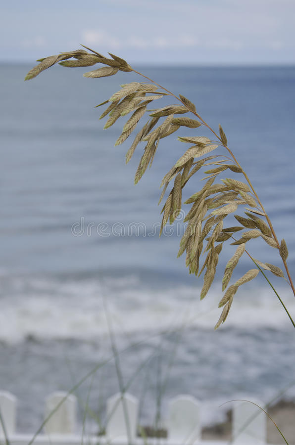 Sea Oats With Atlantic Ocean in Background royalty free stock photos