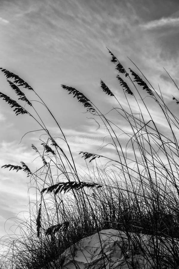 Sea oats at Fernandina Beach. Amelia Island pier in Fernandina Beach, Florida stock photography