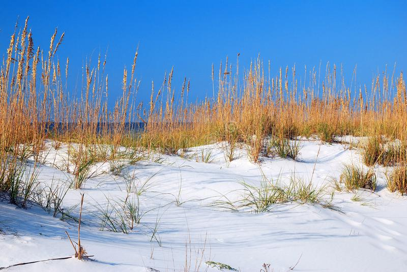 Sea Oats at the Gulf Shore. Sea Oats grow tall in the protective sand dunes along the Gulf of Mexico Shore stock photo