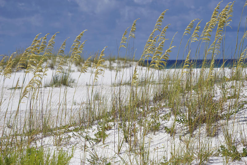 Sea Oats at Turqouise Blue Beach in Florida royalty free stock image
