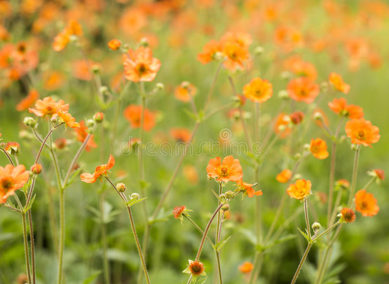 Sea of Orange. A delicate little orange flower that creates an overwhelming sense of summer when grown in a patch. An image to be used in the background royalty free stock photo
