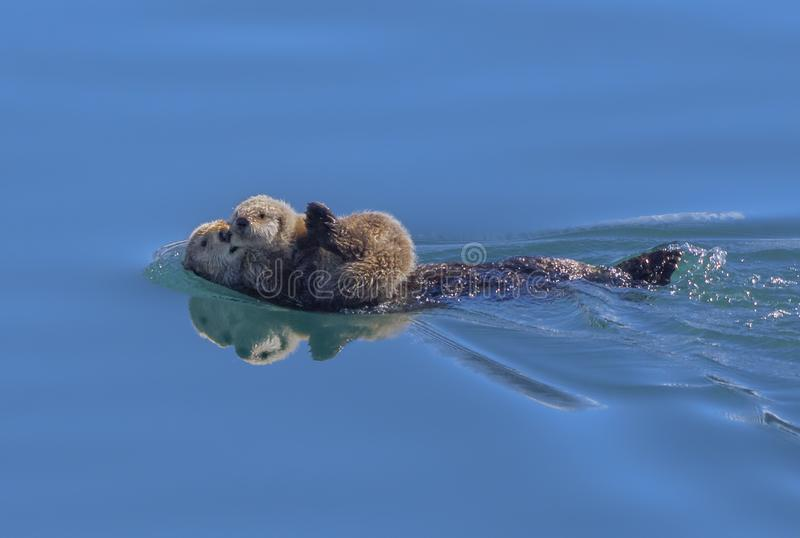Sea Otter and baby Alaska. A mother Sea Otter with her baby on her belly as she floats on her back in Prince William Sound Alaska. Adult sea otters typically