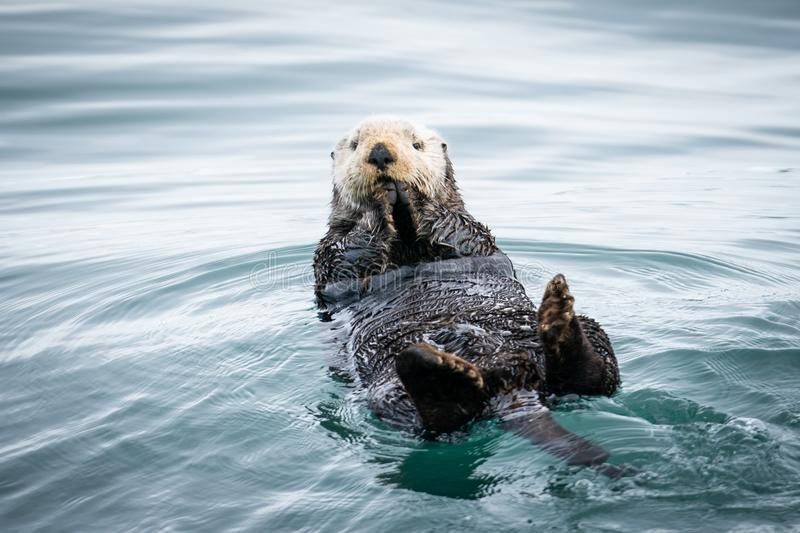 Old Man of the Sea. Sea otter bobbing on the water in  Resurrection Bay, Alaska royalty free stock photography