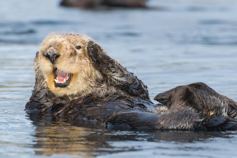 Sea otter covering ears in Morro Bay California royalty free stock images