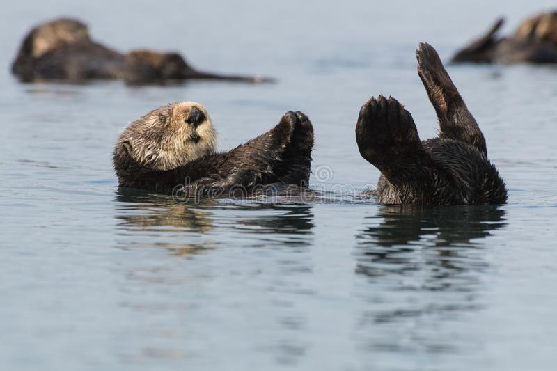 Sea otter floating on back in Morro Bay, California. Sea otters relax in Morro Bay along California`s Central Coast. Sea otters were listed as threatened under royalty free stock photography