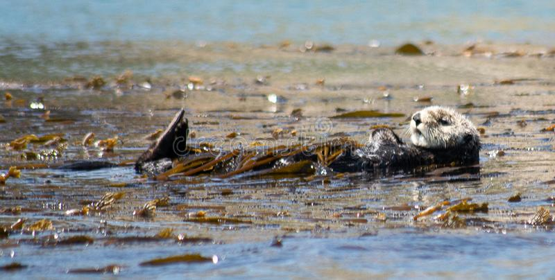 Sea otter floating in kelp stock photo