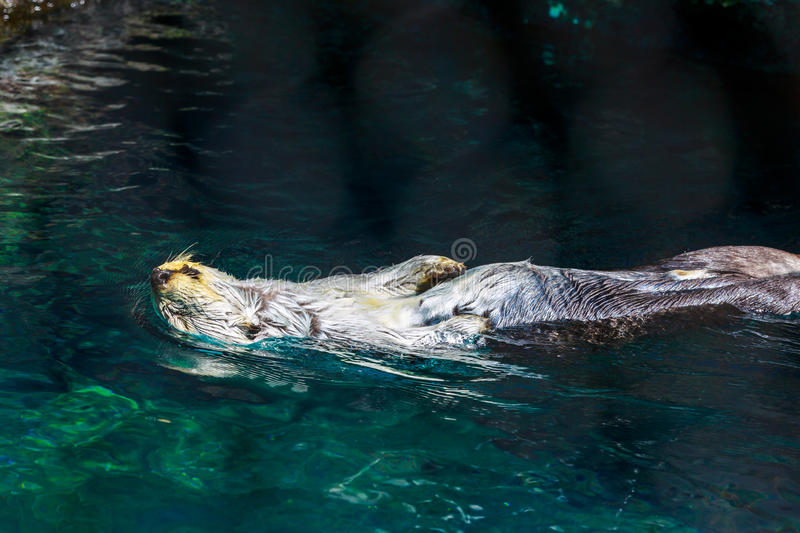 Sea Otter Laid back on Water royalty free stock image