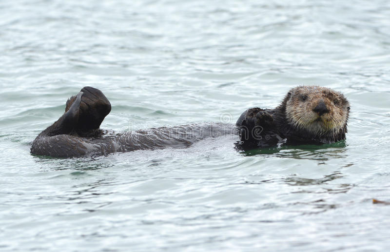 Sea otter male in kelp on a coldy rainy day, big sur, california stock images