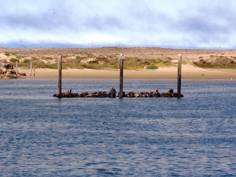 The sea otter of Morro bay - California royalty free stock photography