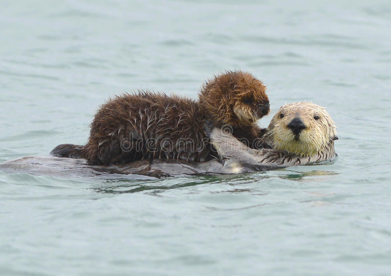 Sea otter mother with adorable baby / infant in the kelp, big sur, california. Female adult sea otter with infant / baby in the kelp on a cold rainy day in big