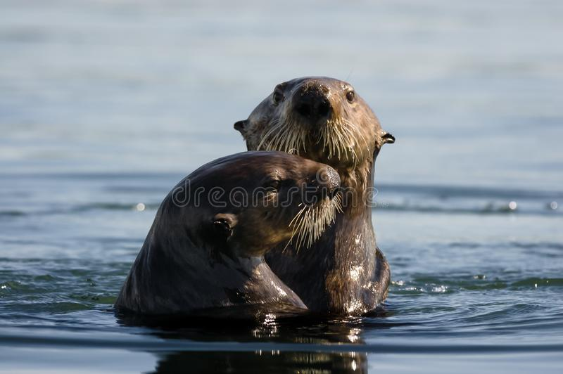 Sea Otter Pair. That appeared to be playing together royalty free stock images