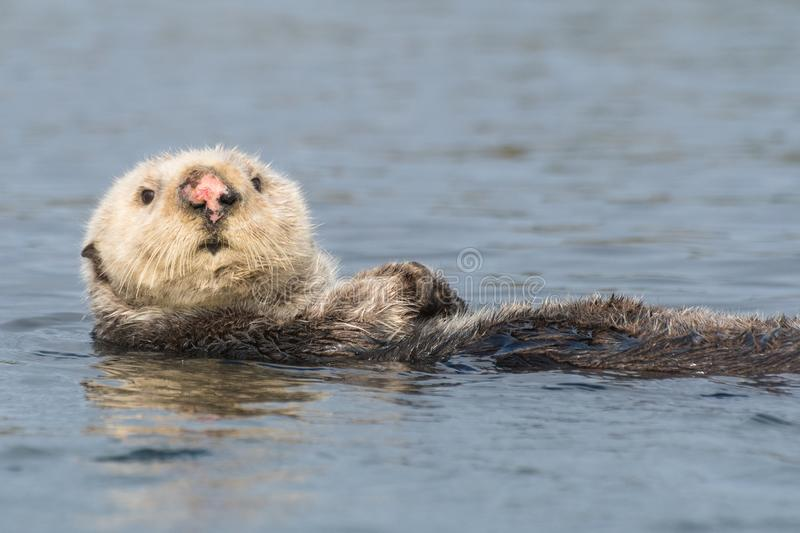Sea otter with pink nose doing backstroke. Funny sea otter with white head in Morro Bay along California`s Central Coast. Sea otters were listed as threatened royalty free stock photos