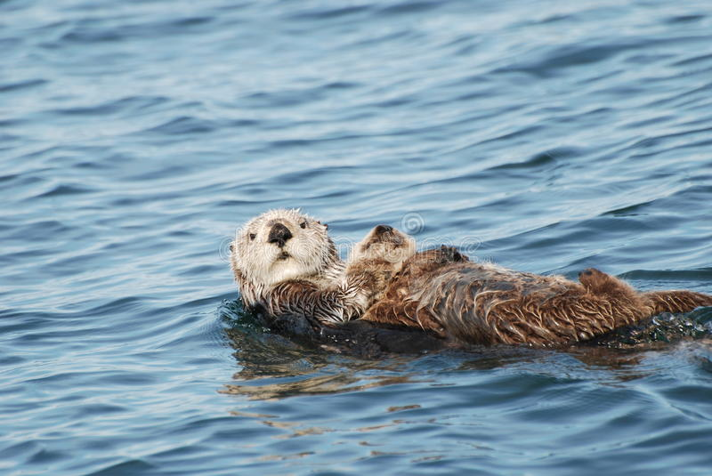 Sea Otter and Pup. A sea otter and her sleeping pup floating in the ocean
