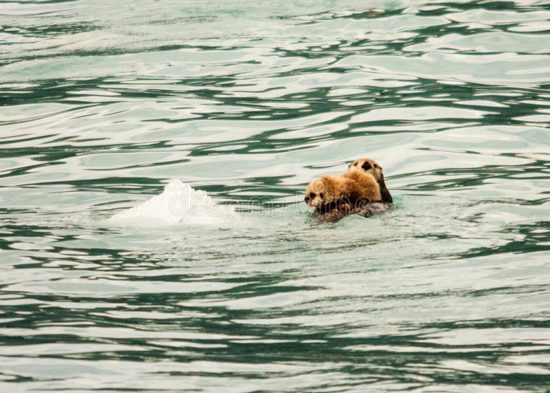 Sea Otter and Pup. A sea otter and her pup float in Alaska's Prince William Sound royalty free stock photos