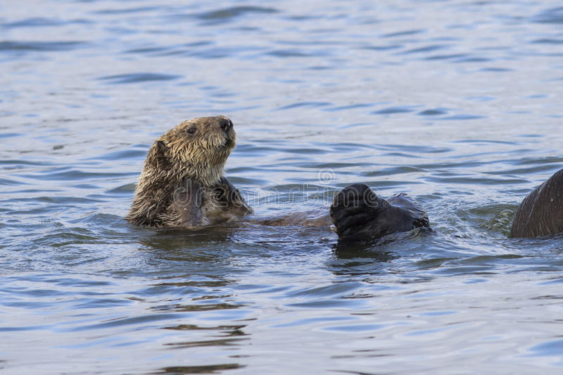 Sea otter raised his head above the water a winter sunny day at. The shore of Bering Island royalty free stock images