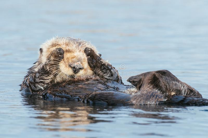 Sea otter saying `I can`t look` covering eyes. Funny sea otter with white head in Morro Bay along California`s Central Coast. Sea otters were listed as stock images