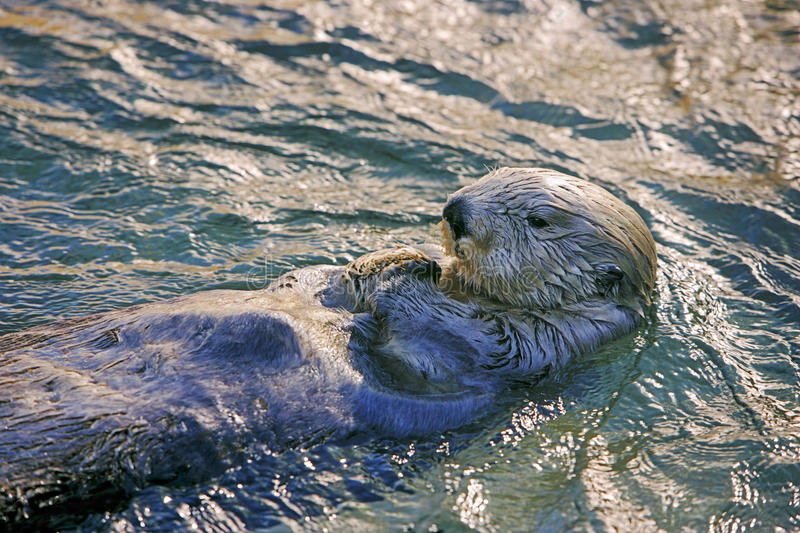 Sea-otter swimming on back stock photography