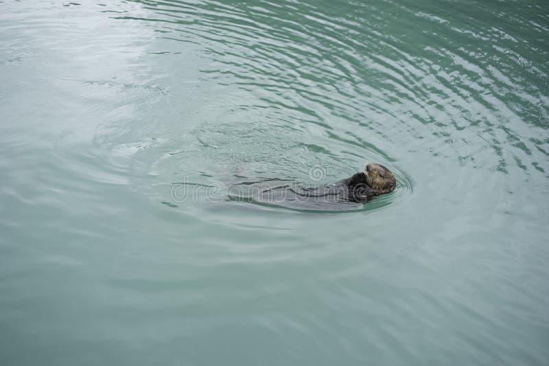 Sea Otter stock photography