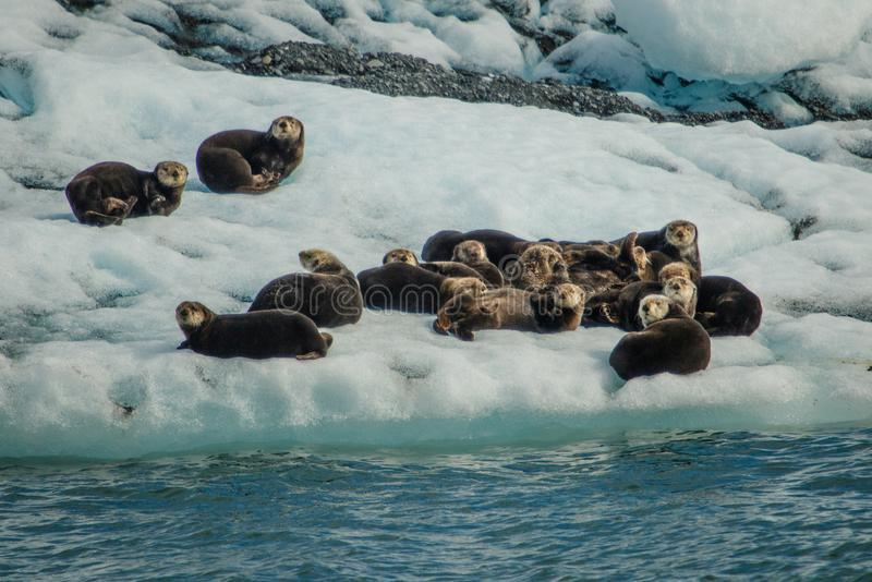 Sea otters resting on ice floe in Prince William Sound, Alaska. Wildlife of Seward in Kenai peninsula stock photography