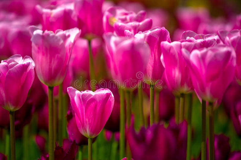 Download Sea of pink tulips stock image. Image of closeup, blooming - 14857555