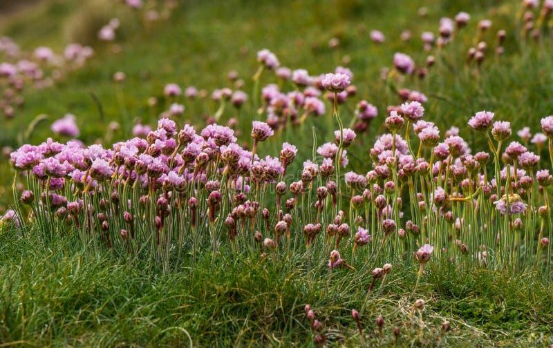 Sea pinks stock image image of windy armeria thrift 56426143 download sea pinks stock image image of windy armeria thrift 56426143 mightylinksfo