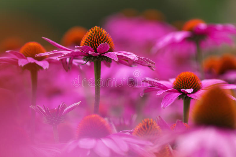 Sea of purple coneflowers stock photography