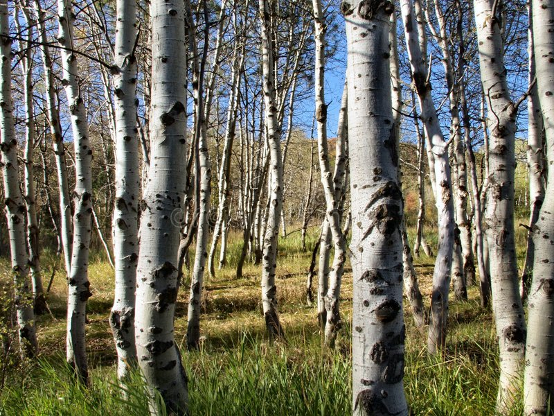 Download Sea of quakies stock photo. Image of forest, aspen, closeup - 25758
