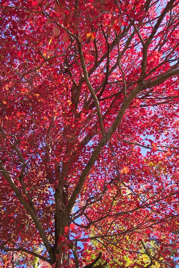 Download Sea of Red stock image. Image of october, leaves, branches - 30063