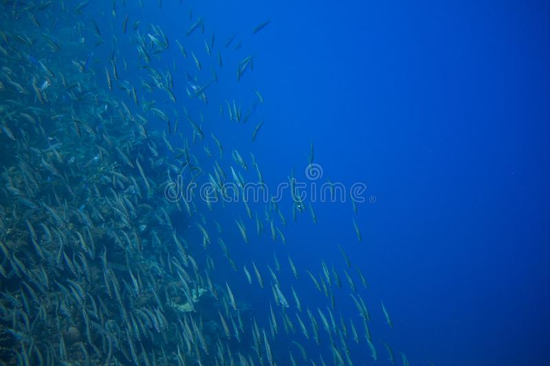 Sea sardine school in blue ocean. Seafish underwater photo. Pelagic fish colony carousel in seawater. Mackerel shoal. Oceanic wildlife. Sea sardines stock photos