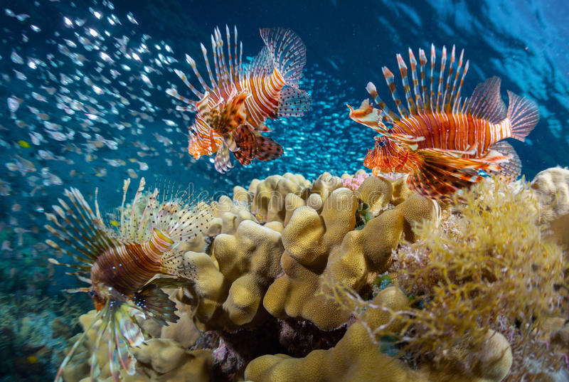 Sea. School of lion fish swimming over coral reef and watching their prey - school of tiny fish. Red Sea. Egypt