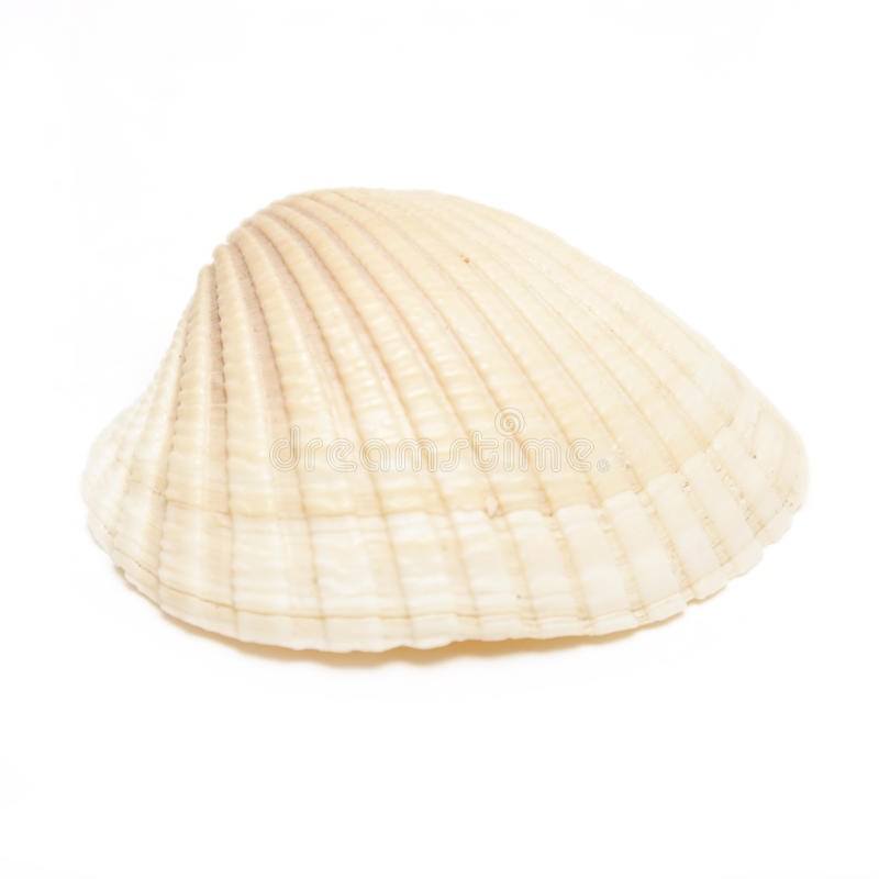 Sea Shell. A macro shot of a sea shell isolated on white royalty free stock photo